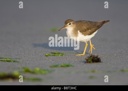Spotted Sandpiper (Actitis macularia) walking on the beach