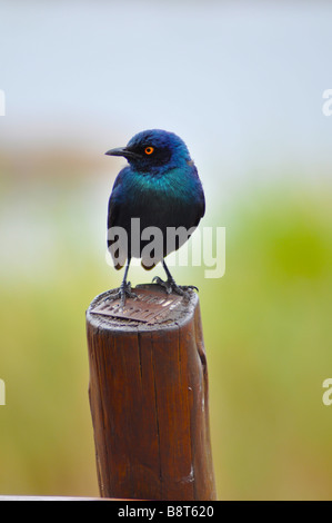 Cape Glossy Starling Lamprotornis nitens Kruger Park South Africa - Stock Photo