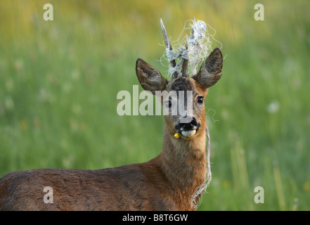 roe deer (Capreolus capreolus), buck with yellow blossom in the snout and cord between its horns, Germany, North - Stock Photo