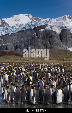 Gold Harbour, South Georgia Island, UK - King Penguins - Stock Photo