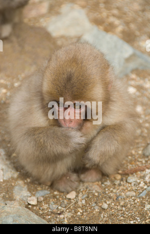 Juvenile Japanese Macaque (Macaca fuscata), or Snow Monkey,  Jigokudani, Nagano Prefecture - Stock Photo
