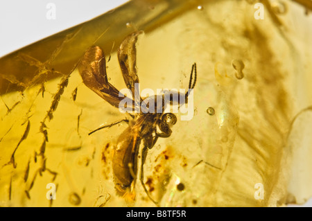 Prehistoric Winged ant preserved in Lithuanian Baltic Amber - Stock Photo