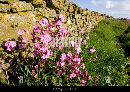 Red campion, Silene dioica, wild flowers growing by a drystone wall on the coast of Aberdeenshire, Scotland. - Stock Photo