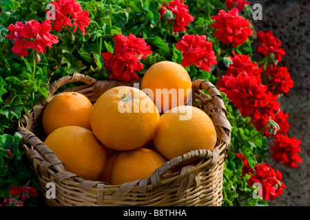 Freshly picked Spanish oranges in rustic wicker basket with sunny red pelargonium flowers behind - Stock Photo