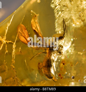 Prehistoric Winged ant preserved in Baltic Lithuanian Amber - Stock Photo