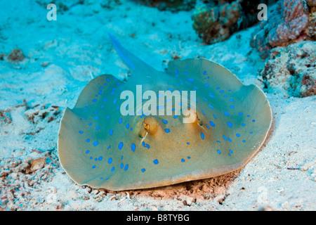 Blue spotted Stingray Taeniura lymma Marsa Alam Red Sea Egypt - Stock Photo