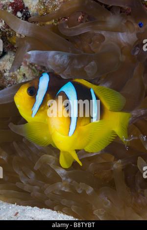 Pair of Red Sea Anemonefish Amphiprion bicinctus Marsa Alam Red Sea Egypt