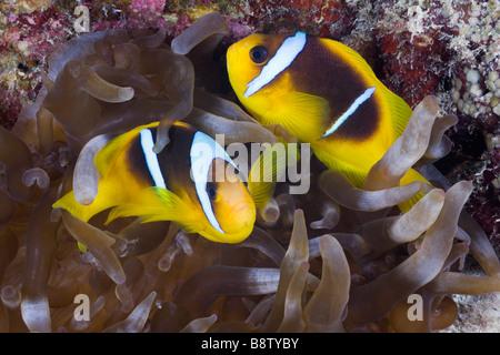 Red Sea Anemonefish Amphiprion bicinctus Marsa Alam Red Sea Egypt