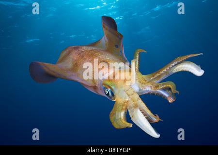 Bigfin Reef Squid Sepioteuthis lessoniana Daedalus Reef Red Sea Egypt - Stock Photo