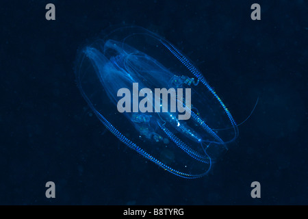 Comb Jellyfish Tentaculata Marsa Alam Red Sea Egypt - Stock Photo
