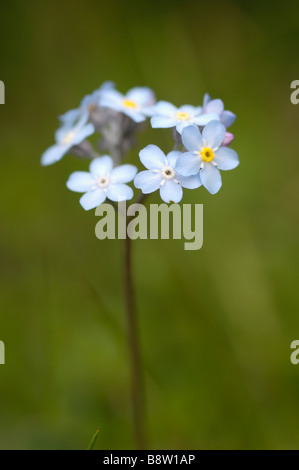 Water forget-me not, also known as True Forget-me not, myosotis scorpiodes, wild flowers, Otztal valley, Tyrol, - Stock Photo