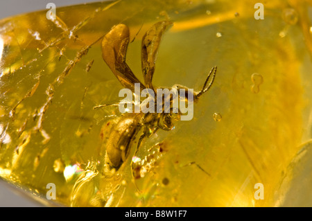 Prehistoric Winged ant preserved in Lithuanian Amber - Stock Photo