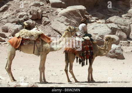 Camels and a bedouin guide waiting for tourists in the ancient city of Petra Jordan - Stock Photo
