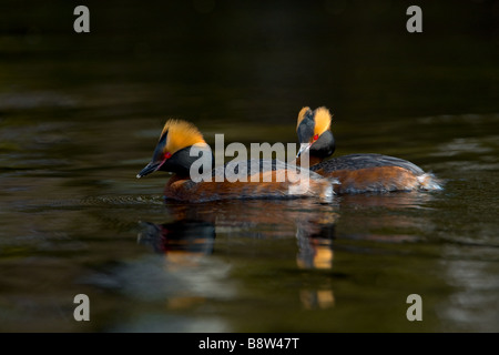 A pair of Slavonian Grebes Podiceps auritus, in summer plumage - Stock Photo