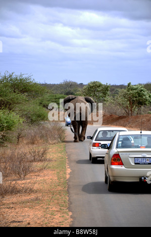 Elephant walking down the road in Kruger National Park South Africa - Stock Photo