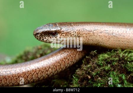 Slow Worm (Anguis fragilis), portrait - Stock Photo