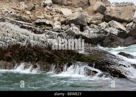 A Colony of Humboldt Penguins Spheniscus humboldti, and Inca Terns, Larosterna inca, San Lorenzo Island, Callao - Stock Photo