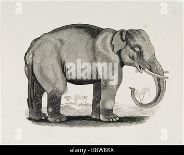 THE ELEPHANT an engraving from the General History of Quadrupeds 1790 by Thomas Bewick 1753 1828 at Cherryburn - Stock Photo