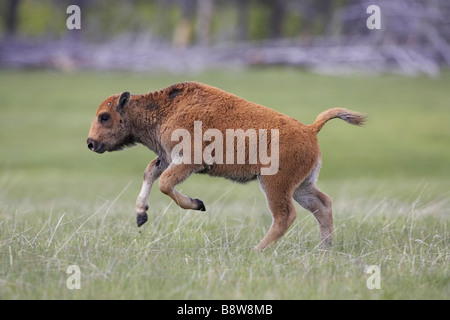 Bison (Bison bison), young calf running - Stock Photo