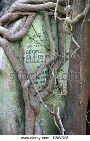 Tombstone completely gripped by tree roots and trunk in the cemetery Highgate London England - Stock Photo