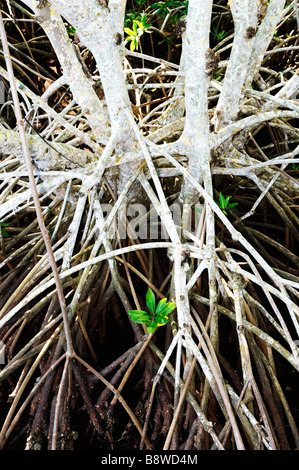 Roots of red mangrove trees - Stock Photo
