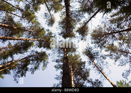 LITHUANIA Silver Birch trees in woodlands low angle view - Stock Photo
