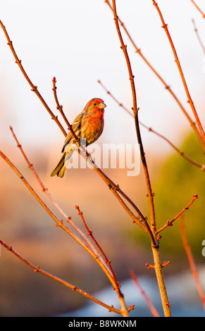 Spring Thaw with lone house finch on branch - Stock Photo