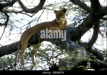 Lioness resting relaxing on a large branch in an acacia tree Serengeti National Park Tanzania East Africa - Stock Photo