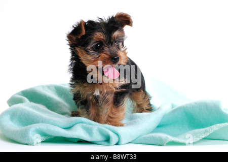 A 7 week old Yorkshire Terrier puppy, Canis lupus familiaris, standing on a green blanket. Cutout. - Stock Photo