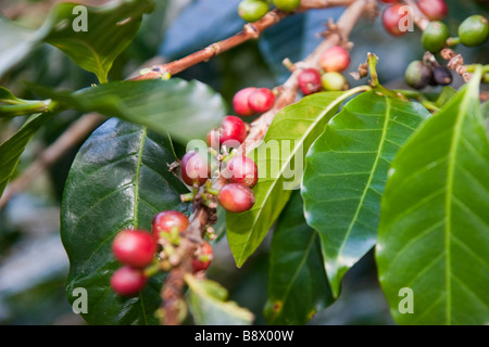 Coffee plants with beans. Boquete, Province of Chiriqui, Republic of Panama - Stock Photo