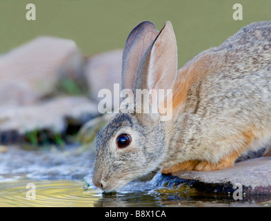 Rabbit (Oryctolagus cuniculus) drinking water from a pond - Stock Photo