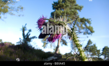 A green lush thistle on a bright blue summers day - Stock Photo