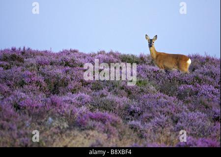 Roe Deer (Capreolus capreolus), doe (female) on heather moor in late summer - Stock Photo