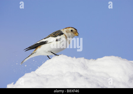 Snow Bunting (Plectrophenax nivalis), adult male in winter plumage perched on snow - Stock Photo