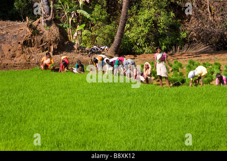 Many women rice weeders on green paddy field. - Stock Photo