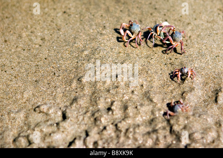 Ghost crab family crawling out from sand on the beach. Stock Photo