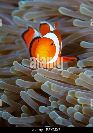 False Clown Anemonefish, Amphiprion ocellaris, Northern Sulawesi, Indonesia - Stock Photo