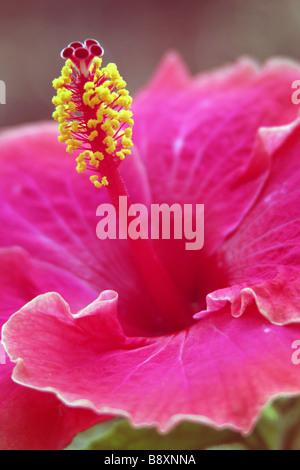 Hibiscus flower at Giardino Pubblico Taormina Sicily - Stock Photo