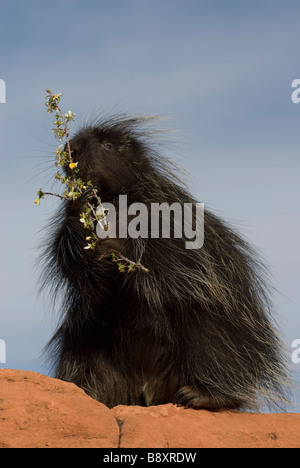 Porcupine erethizon dorsatum in red rock controlled conditions - Stock Photo