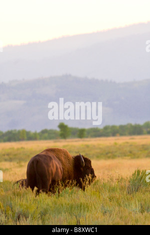 Lone, one male, bull Bison, buffalo in the field grazing. Antelope Flats, Jackson Hole Wyoming USA - Stock Photo