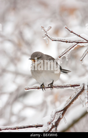 Northern Mockingbird Singing on Ice Covered Branch - Vertical - Stock Photo