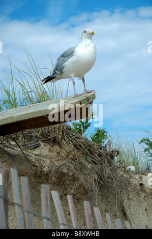 Seagull at beach: Herring Gull larus argentatus perched on plank at beach with dune grass and fence Eastern US with - Stock Photo