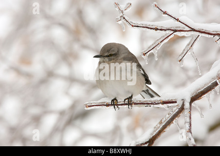Northern Mockingbird Perched on Ice Covered Branch - Stock Photo