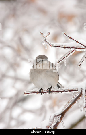 Northern Mockingbird Perched on Ice Covered Branch - Vertical - Stock Photo