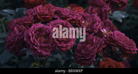 A beautiful bunch of deep pink coloured roses Zigeunerknabe in Mottisfont Abbey garden in Hampshire - Stock Photo