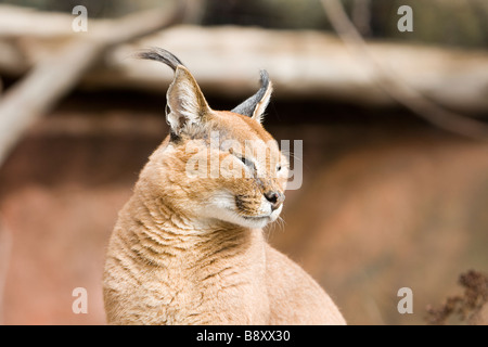 The Caracal Caracal caracal also called Persian Lynx or African Lynx is a fiercely territorial medium sized cat - Stock Photo