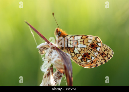 Small Pearl-bordered Fritillary Butterfly (Boloria selene).Roosting in the evening on a Cottongrass seedhead. Powys, - Stock Photo