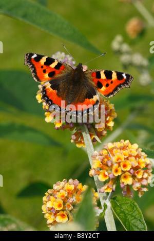 Small Tortoiseshell butterfly (Aglais urticae) feeding on Buddleia x weyeriana in a garden. Powys, Wales. - Stock Photo