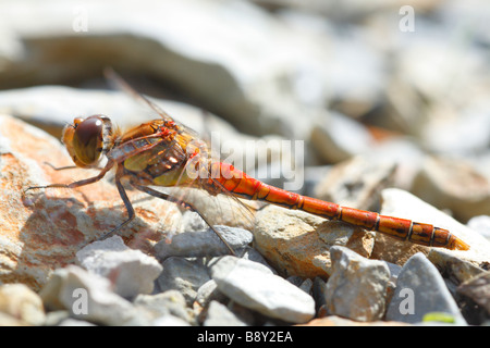 Male Common Darter Dragonfly (Sympetrum striolatum) basking on rocks. Powys, Wales, UK. - Stock Photo