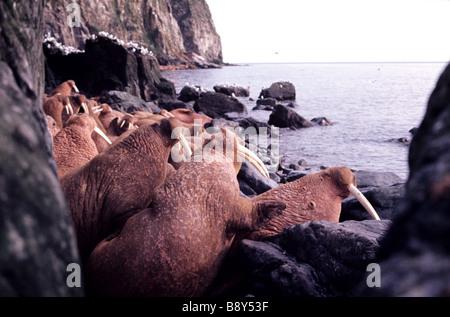 WALRUSES, ROUND IS., ALASKA, U.S.A. - Stock Photo